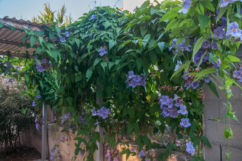 Крупноцветковая (Thunbergia grandiflora)