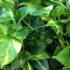Эпипремнум — зеленый очиститель воздуха в вашем доме. Советы и рекомендации по уходу и выращиванию