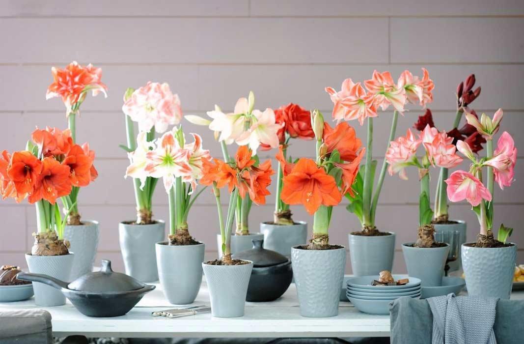 амариллис цветочный микс