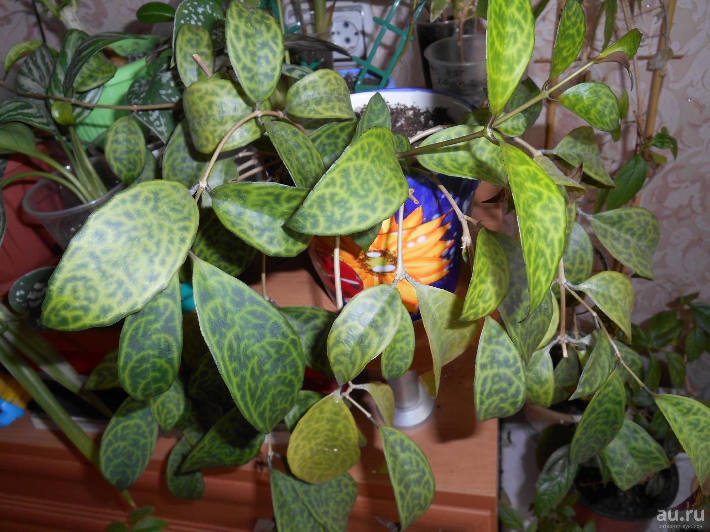 цветущий эсхинантус мраморный