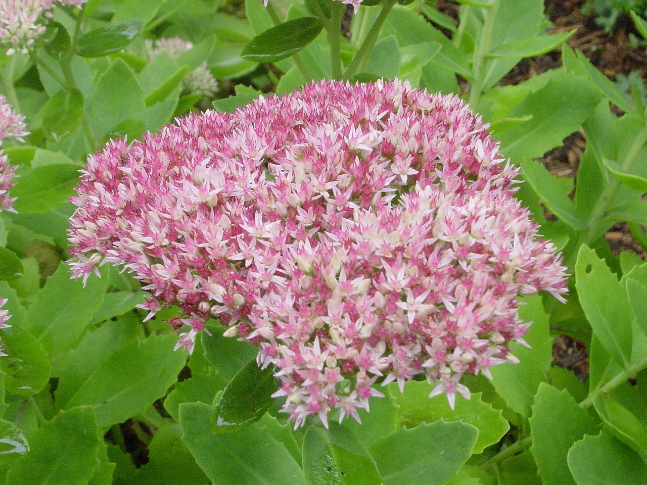 Очиток обыкновенный (большой) (Sédum teléphium)
