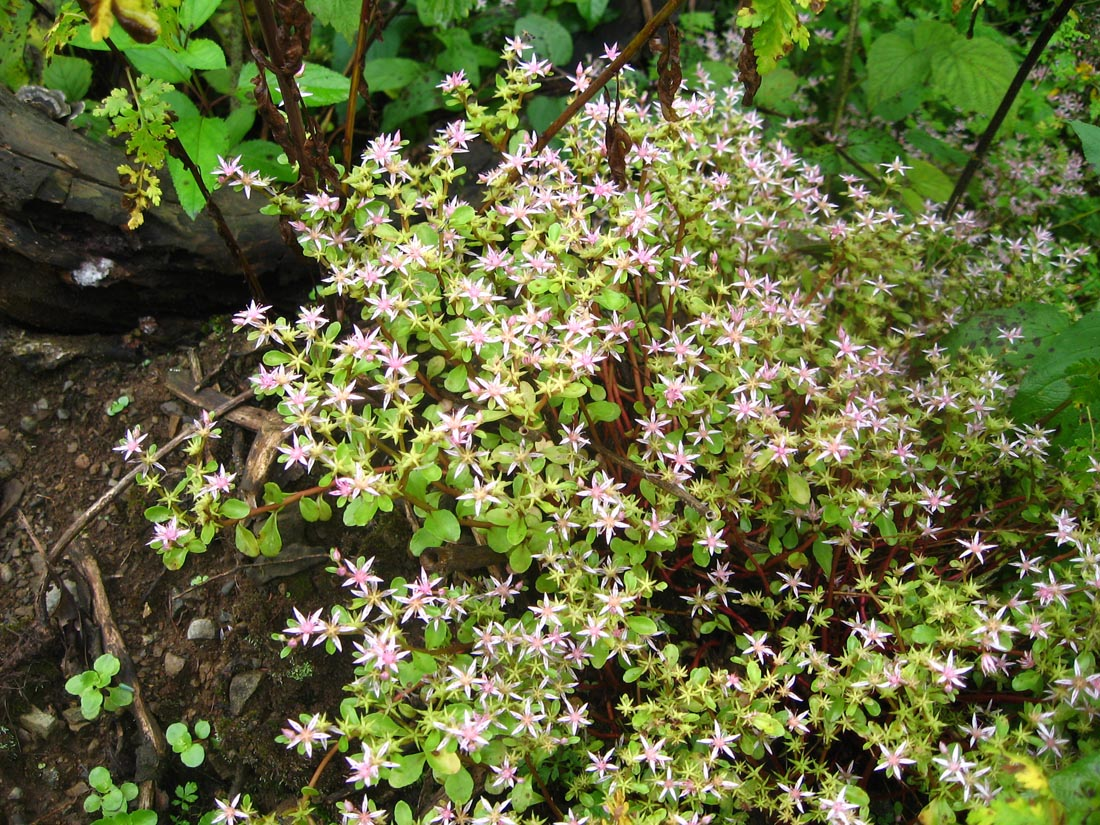 Очиток побегоносный (Sedum stoloniferum)