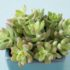 Очиток (седум) — универсальное растение для сада и дома. Советы по выращиванию и уходу
