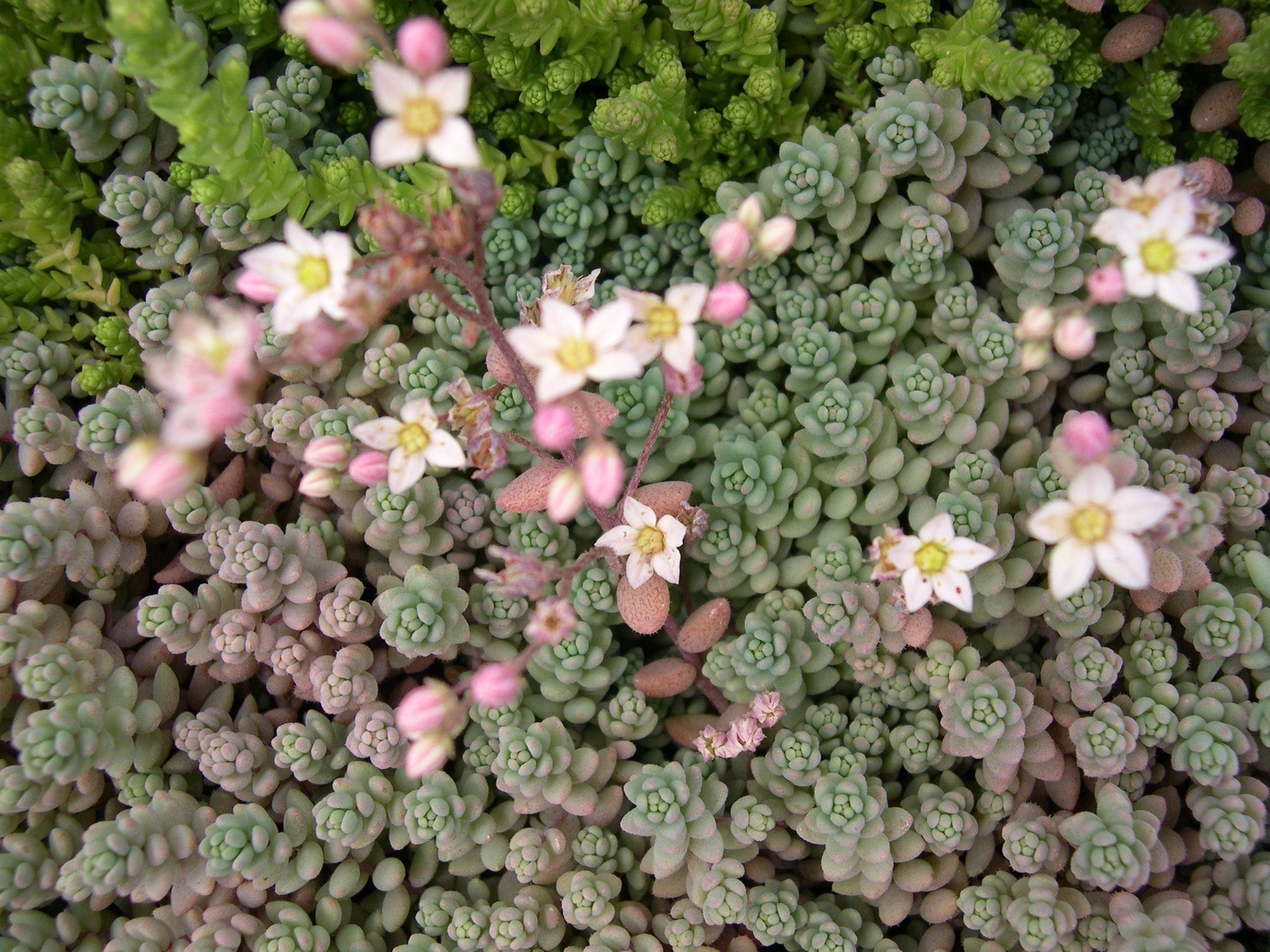 Очиток густолистный (Sédum dasyphyllum)