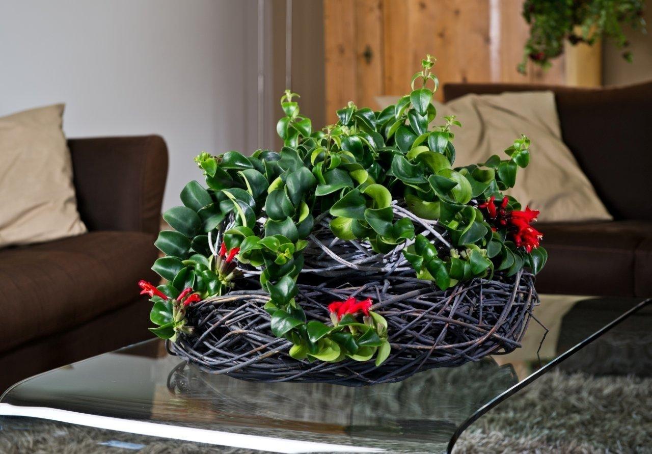 Эсхинантус в плетеном кашпо на столе