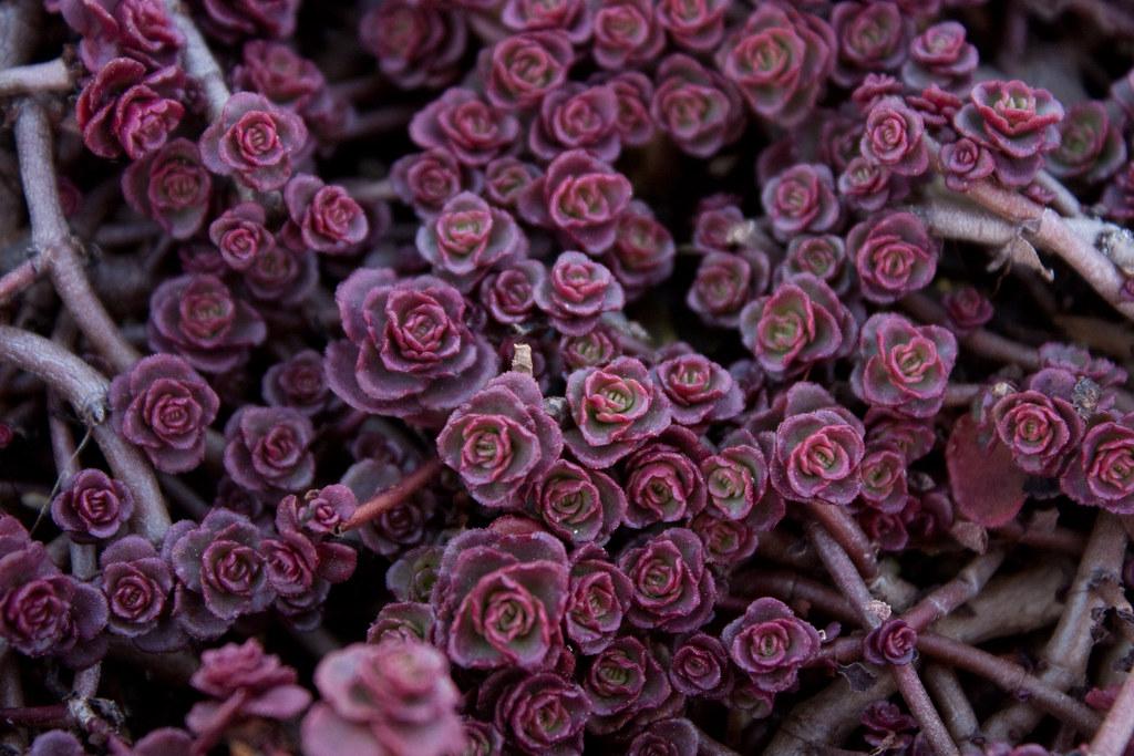 Очиток - растение-долгожитель