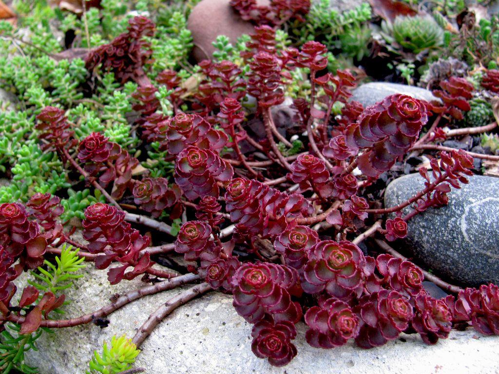 Седум Вуду - растение из семейства Толстянковые