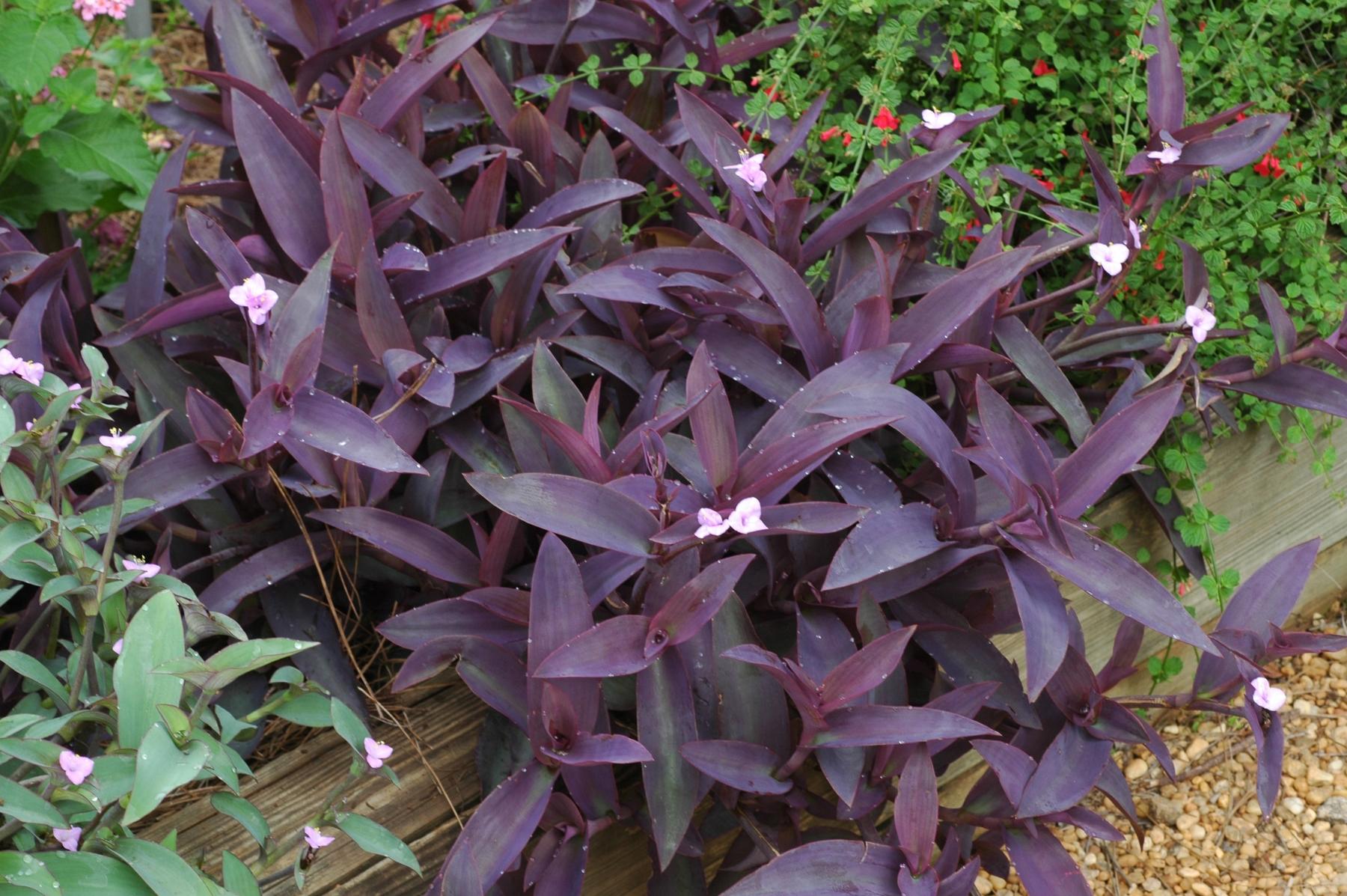 Сеткреазия пурпурная в ландшафте сада