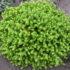 Очиток едкий — яркое солнце в вашем саду. Как выращивать и ухаживать