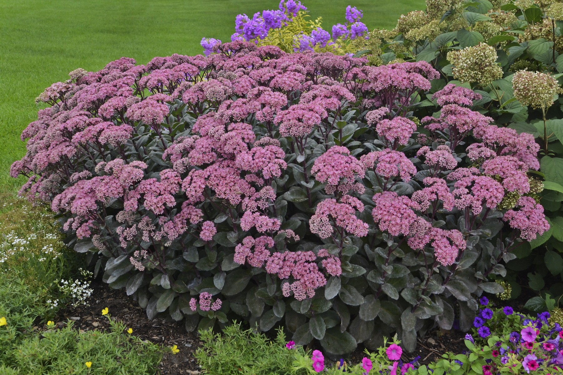 очиток пурпурный или скрипун-трава