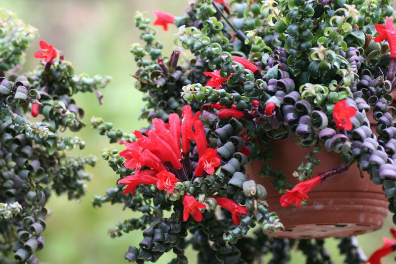 Эсхинантус Раста ( Aeschynanthus rasta)