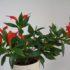 Эсхинантус — сказочный цветок. Как выращивать и ухаживать