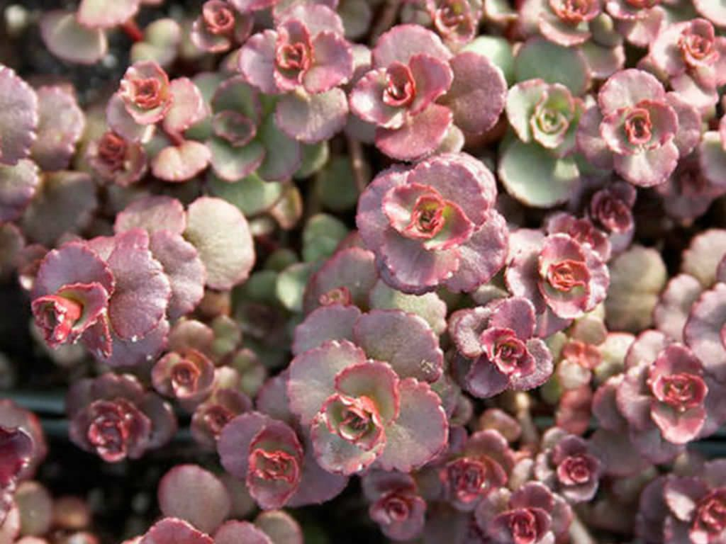Очиток Вуду - зимостойкое растение