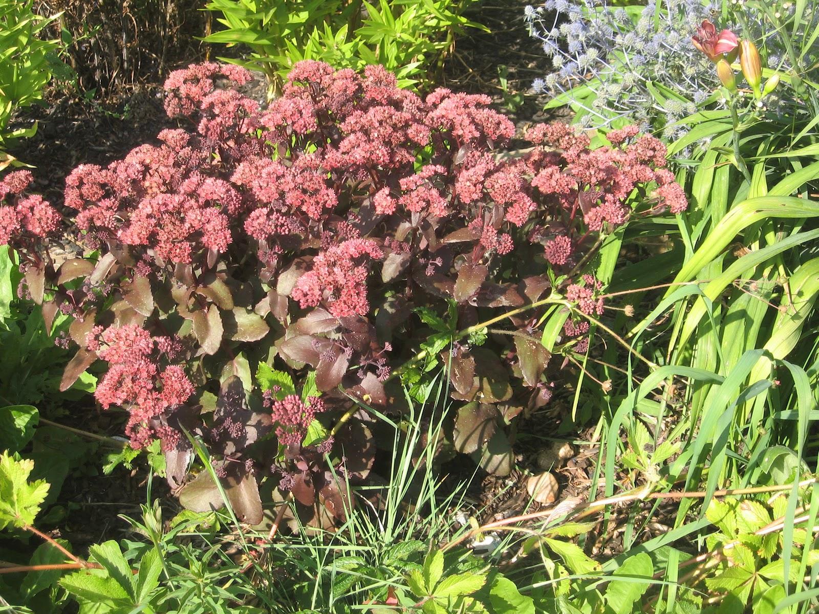 Очиток пурпурный – неприхотливое, светолюбивое растение