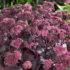 Очиток пурпурный: скрипун-трава в вашем саду. Рекомендации по выращиванию и уходу