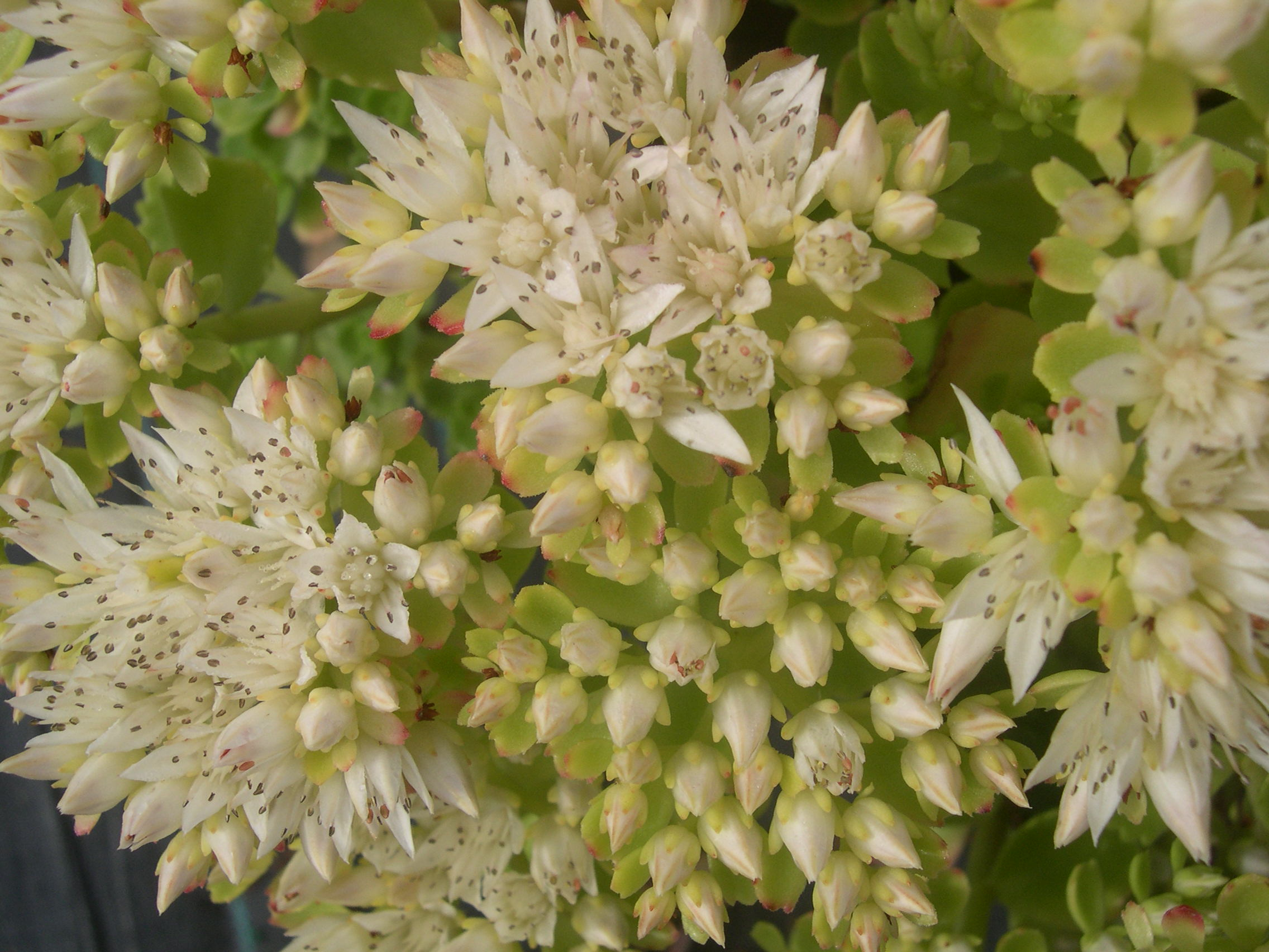 Sedum spurium Green Mantle