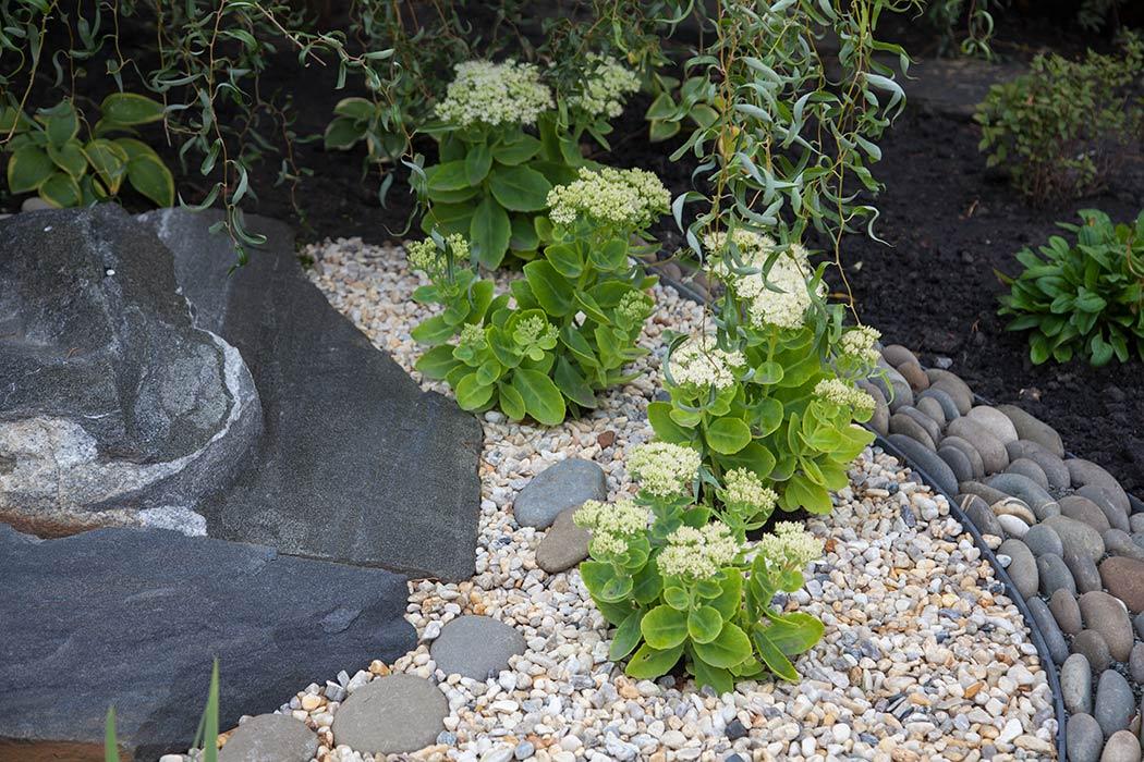 седум видный в саду камней