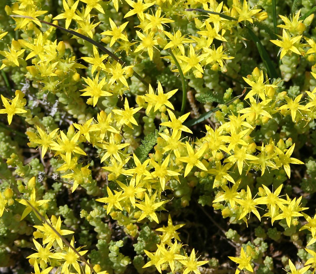 Лучистые цветки седума