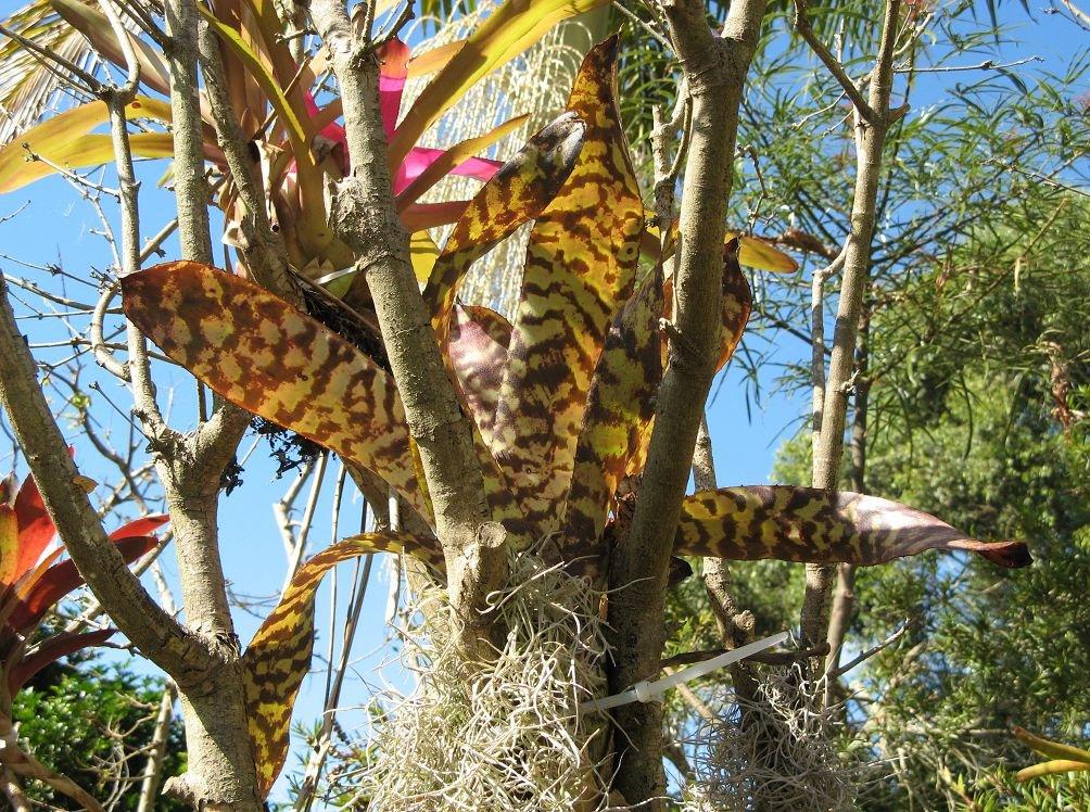 Эхмея полосатая на деревьях