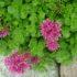 Очиток ложный — самое неприхотливое растение в вашем саду. Как выращивать и ухаживать
