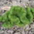 Очиток скальный — гость с Северного Кавказа в вашем саду. Рекомендации по уходу и выращиванию