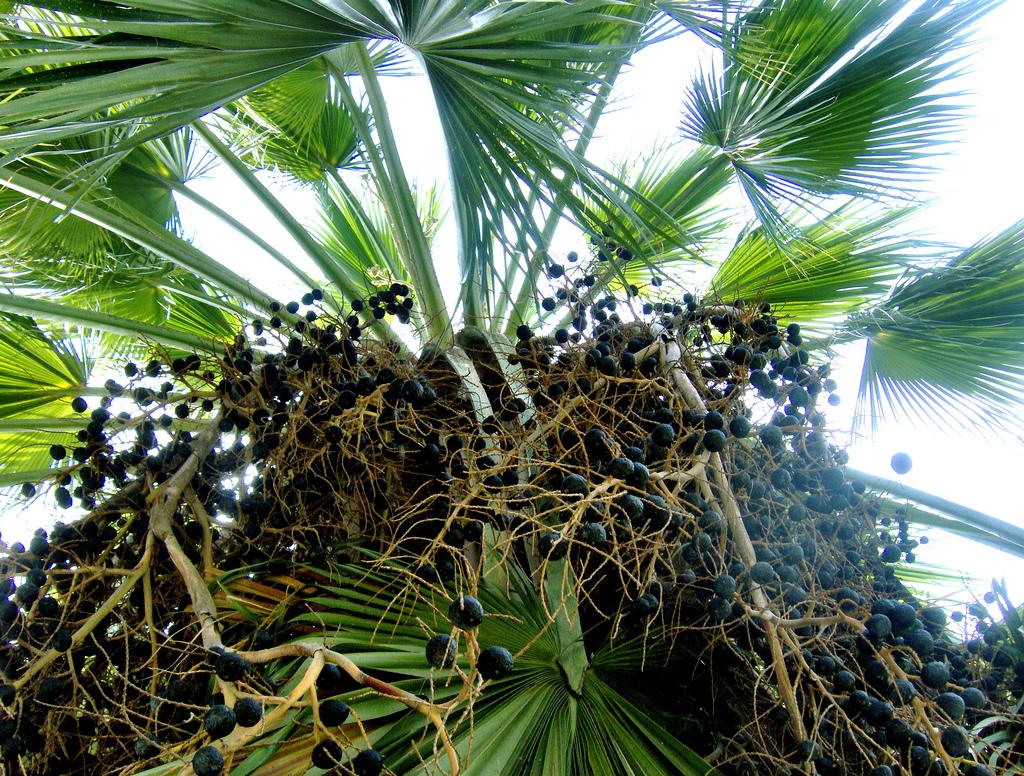 Брахея съедобная (Brahea edulis)