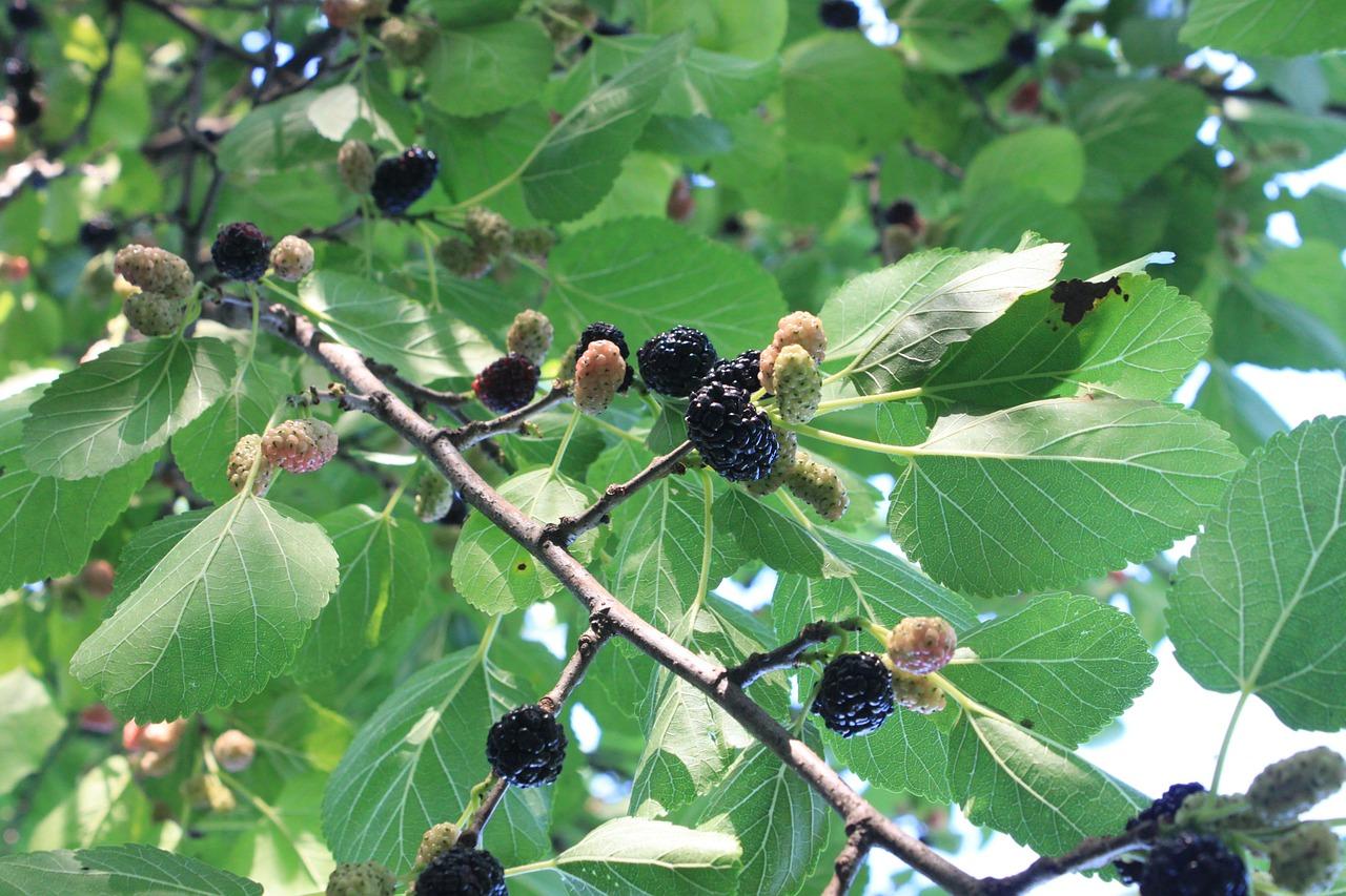 Шелковица чёрная (Morus nigra)
