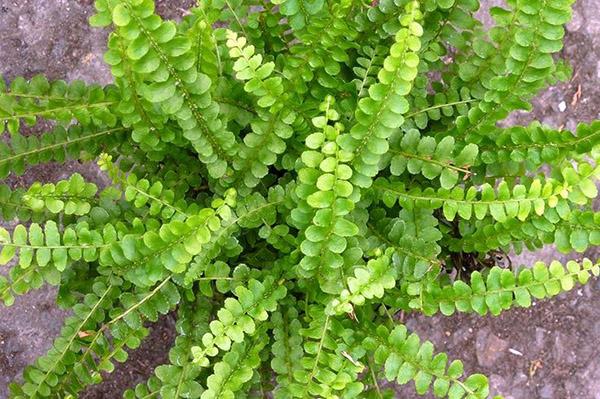 Нефролепис сердцелистный (Nephrolepis cordifolia)