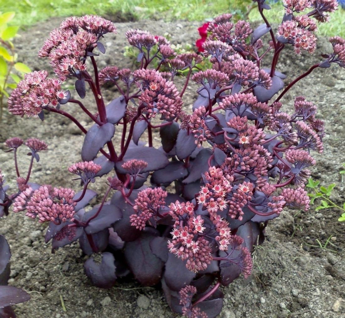 Седум видный Пурпл Эмперор (Sedum spectabile Purple Emperor)