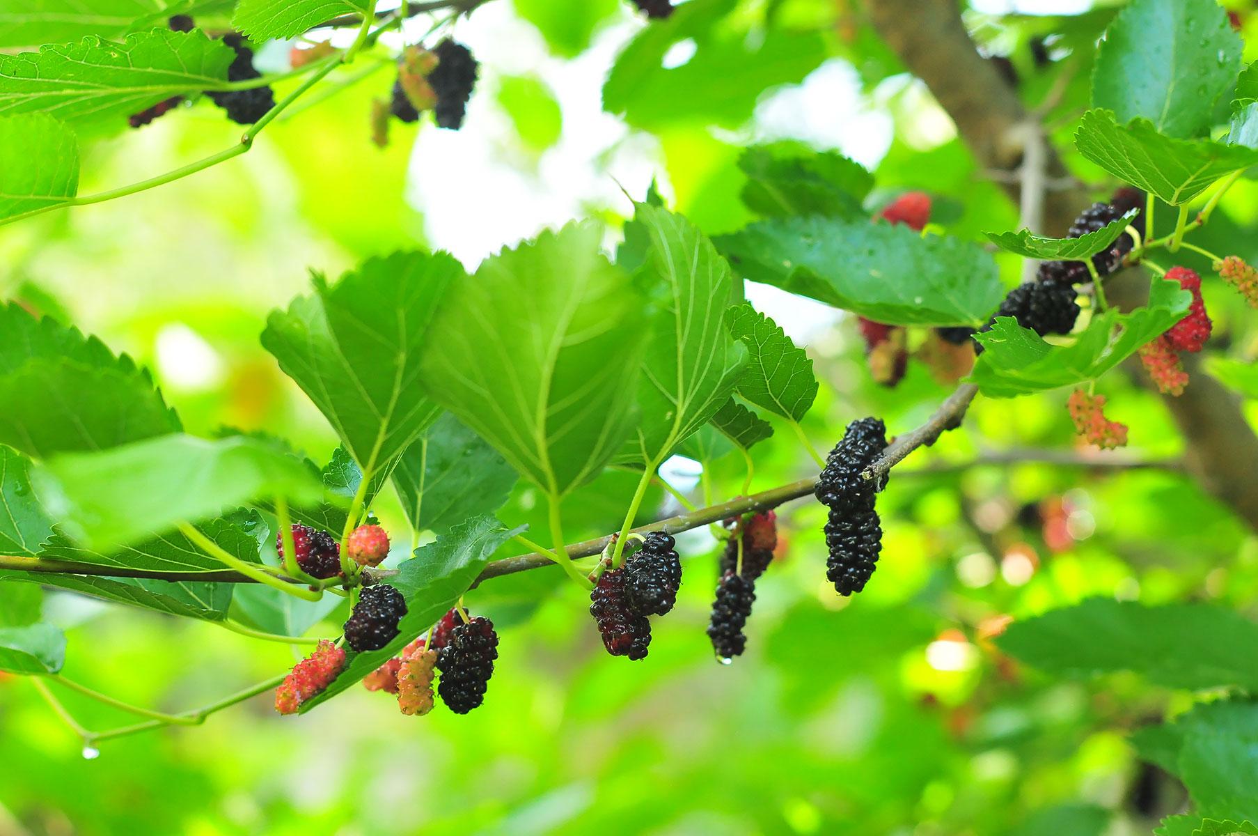 Шелковица - тутовое дерево