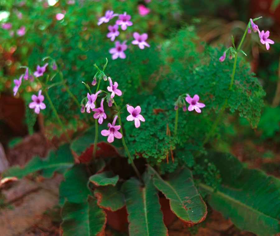 Стрептокарпус Вендланда (Streptocarpus wendlandii)