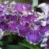 Стрептокарпусы — чудесные собратья фиалок в вашем доме. Популярные виды и сорта