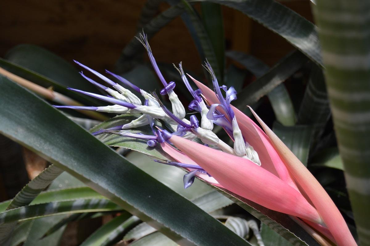 Бильбергия великолепная (Billbergia magnifica)