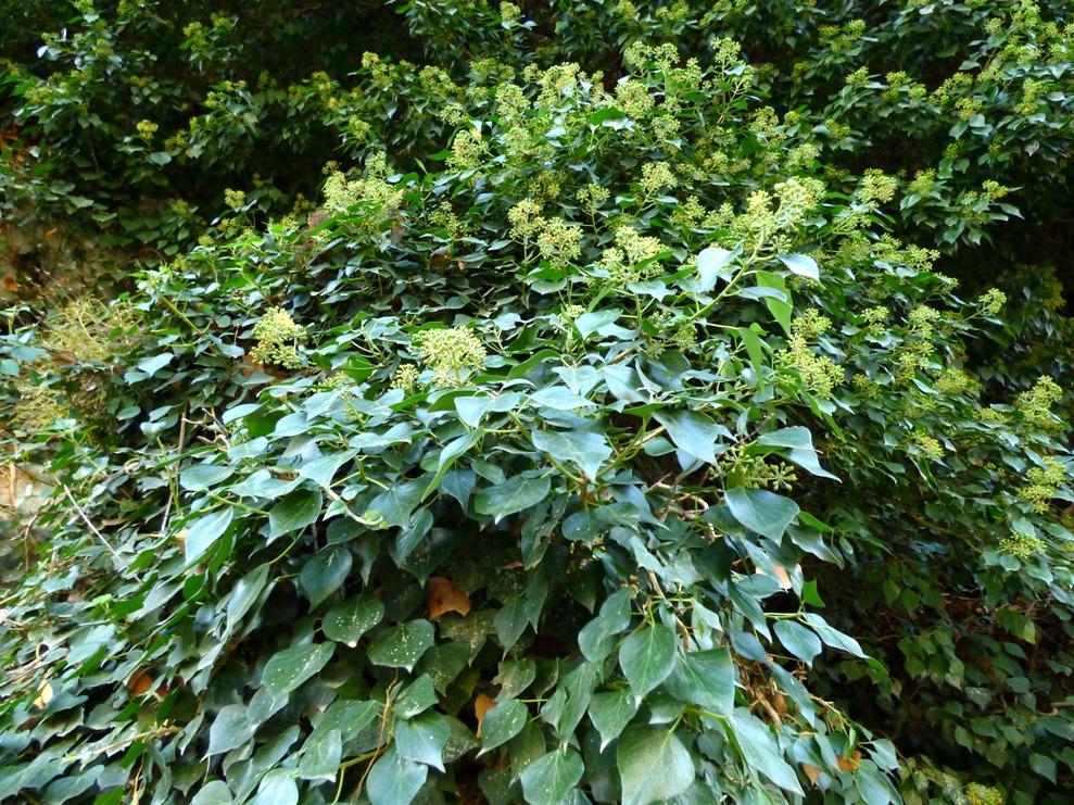 Плющ иберийский (Hedera iberica)