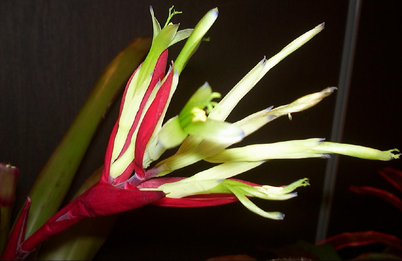 Бильбергия Винди (Billbergia Ventus)