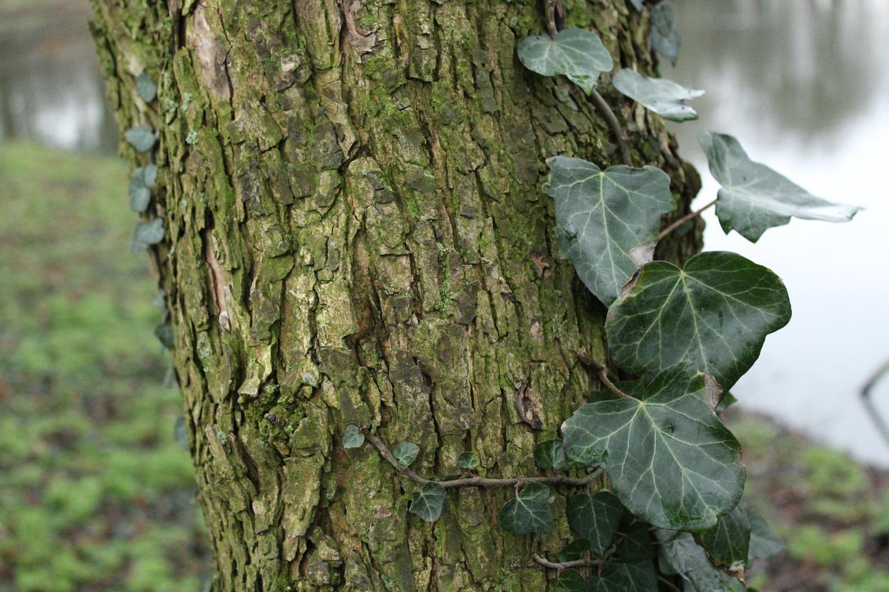 Плющ на дереве