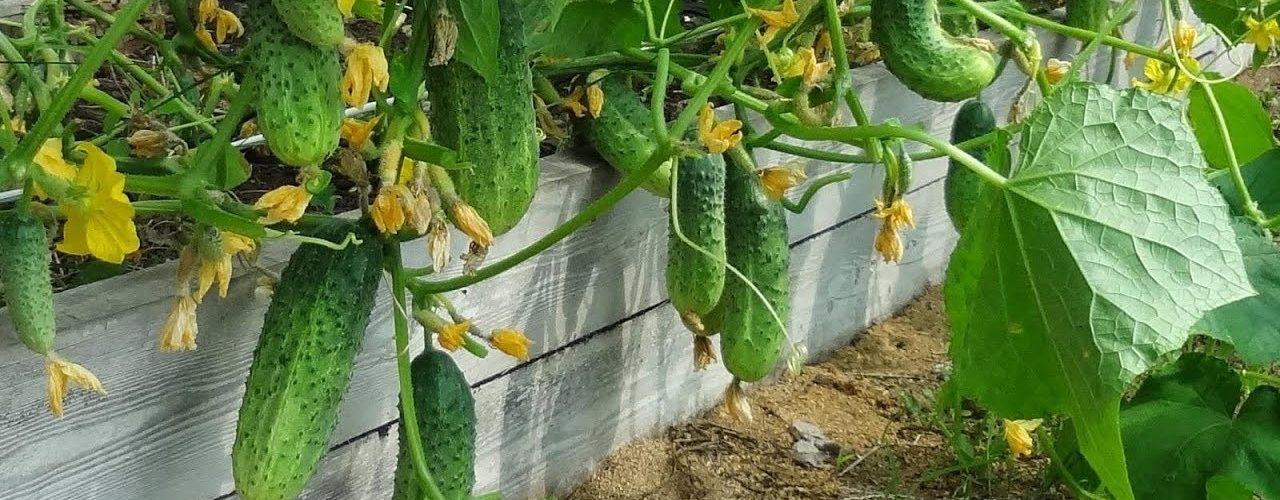 ранний урожай огурцов