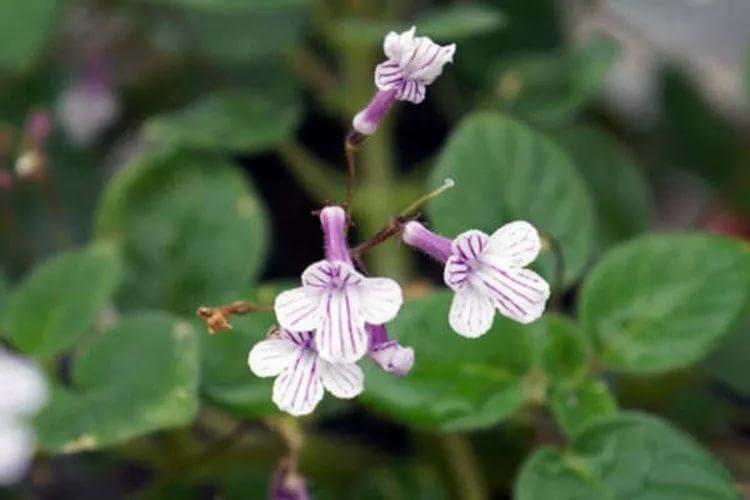 Стрептокарпелла Кирка (Streptocarpus kirkii)