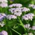 Тысячелистник: чудо-трава на вашем участке. Как правильно посадить и ухаживать