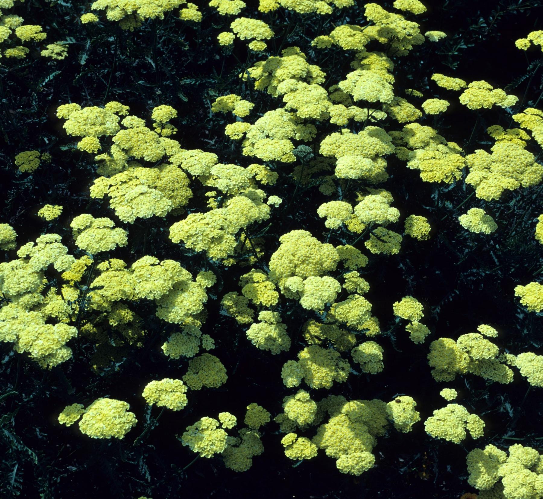 Тысячелистник Achillea filipendulina Flowers of Sulphur
