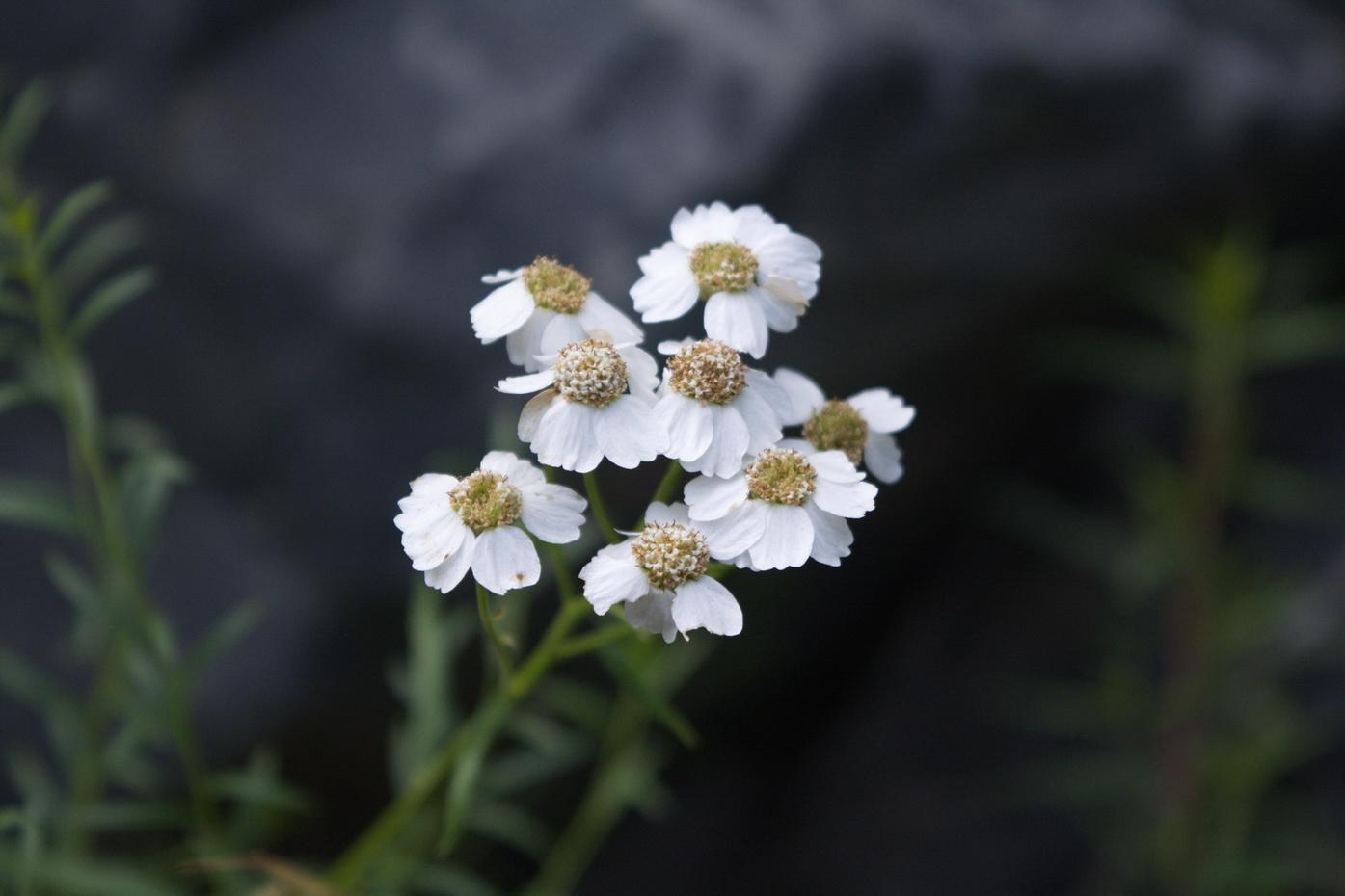 Тысячелистник птармиколистный (Achillea ptarmicifolia)