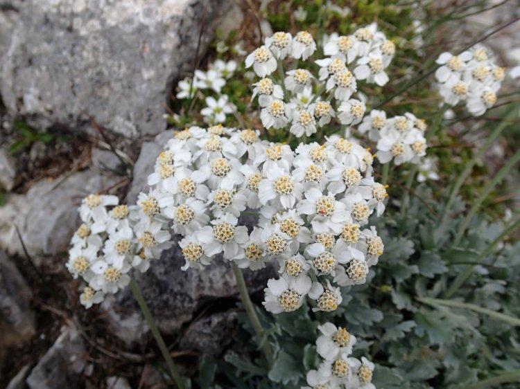 Тысячелистник серебристый (Achillea clavennae)