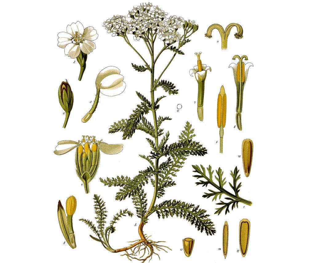 Ботаническая иллюстрация тысячелистника