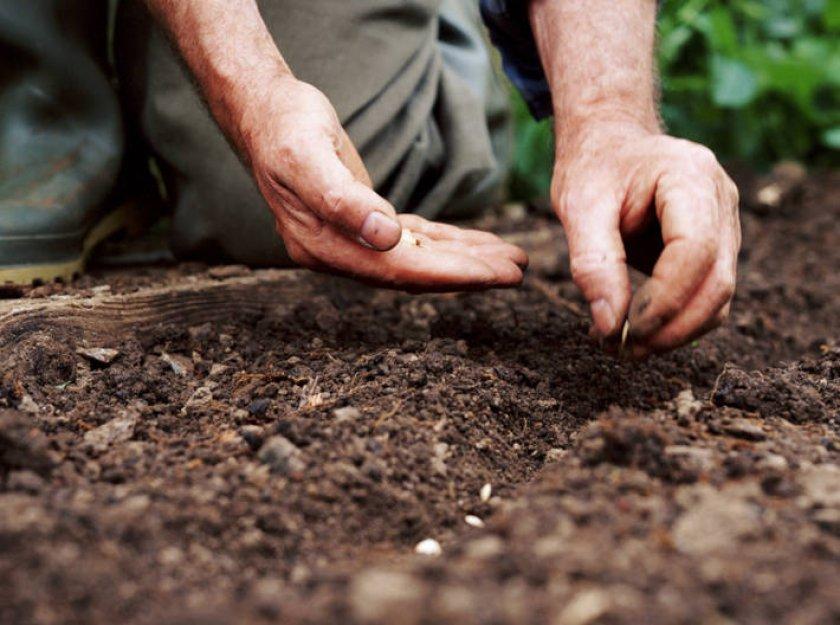 Посадка огурцов в грунт семенами