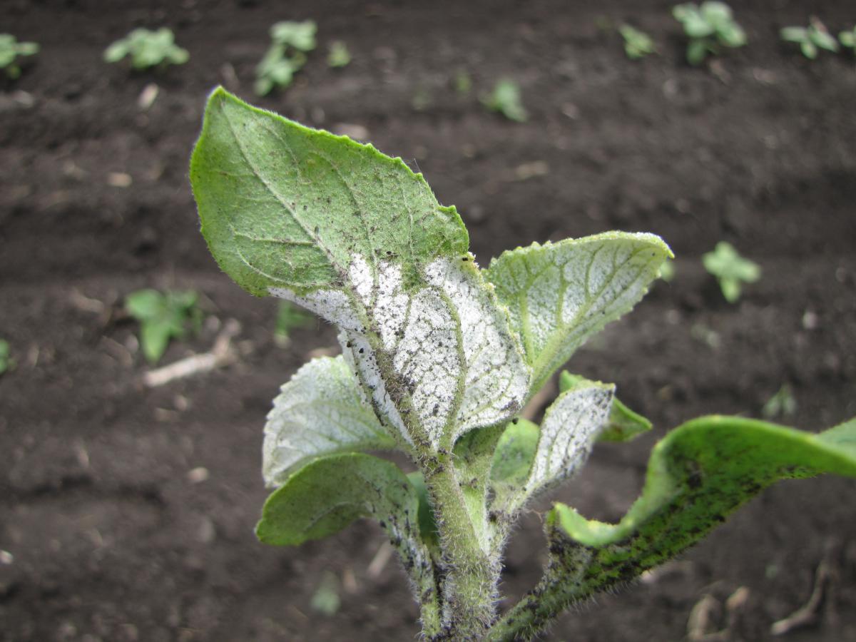 Поражение листьев и стебля подсолнечника