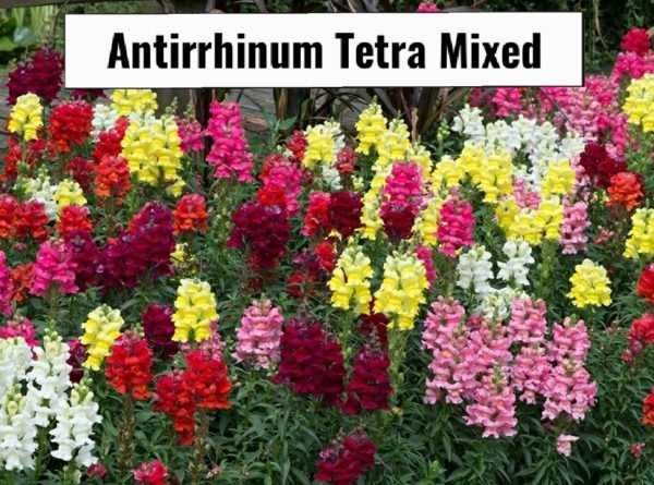 Antirrhinum tetra mix