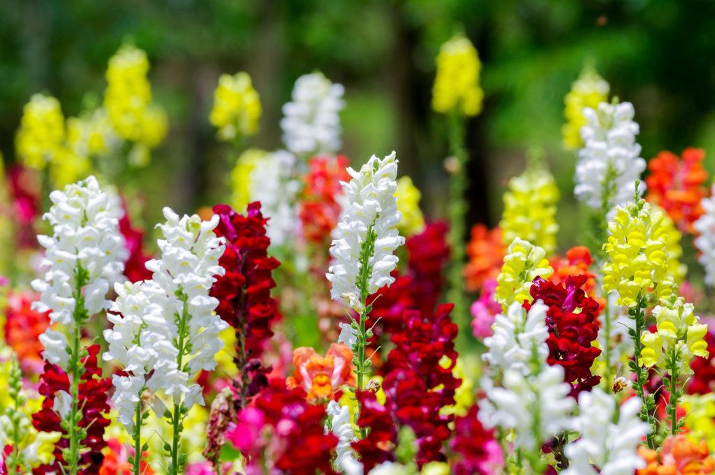 Цветы Антирринум