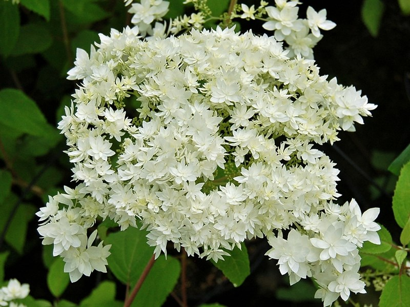 Hydrangea arborescens Hayes Starburst