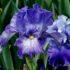 Ирисы — секреты посадки и ухода за цветками радуги