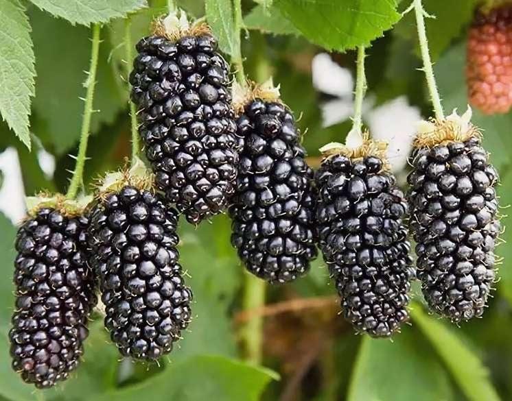 Karaka Black